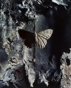 Geometrid Evolution of Light Into Dark, 2000