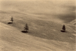 Montana Pines, Sepia toned gelatin silver print, 5 x 7 inches