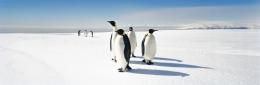 Emperor Penguins, McMurdo Sound Sea Ice, Rosa Sea, Antarctica
