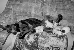 Doberman with Kittens and Bunnies, Malden, Massachusetts, 1993