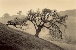Sonoma Oak, Sepia toned gelatin silver print, 5 x 7 inches