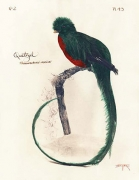 Quetzal, 2004 toned cyanotype with hand coloring, 14 x 11 inches