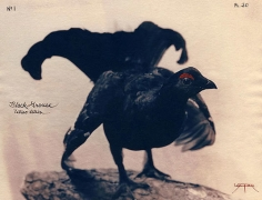 Black Grouse, 2003