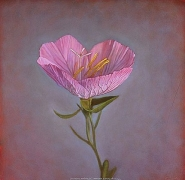 Mexican Evening Primrose, hand-colored gelatin silver print