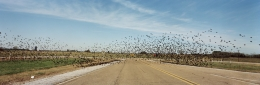 Fleeing Flock, Lamar County, Mississippi