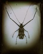 Acrocinus Longimanus( Harlequin Beetle), South/Central America, 1999