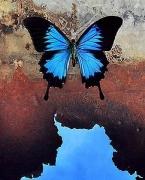 Papillio ulysses, 2000