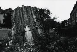 Cut Tree, Rochester, 1973