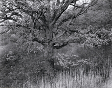 George Tice, Oak Tree, Holmdel, New Jersey