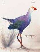 Purple Swamphen, 2005