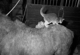 Boy in Barn with Cat and Pony, Rowley, Massachusetts, 1992