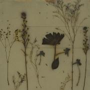 Botanical 07-10, 2007, photogenic drawing