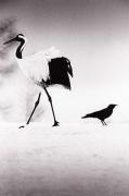 Camille Solyagua, Red Crowned Crane #6, Hokkaido, Japan, 2002,