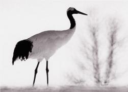 Camille Solyagua, Red Crowned Crane #3, Hokkaido, Japan, 2002,