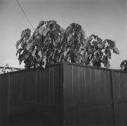 Santa Monica, CA (Levitated Bush), 1974