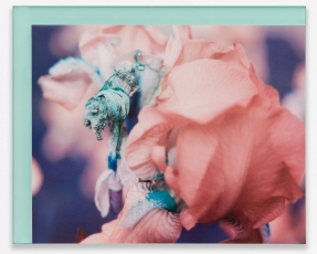 A color photograph of an iris on blue plexiglas