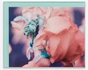 A color photograph of an iris on blue plexiglas
