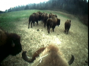 Buffalo by Sam Easterson