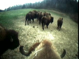 Buffalo by Sam Easterson