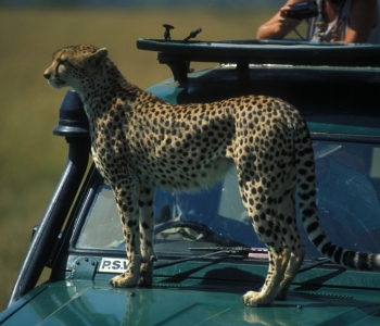 Kenya Wildlife Trust: Mara Cheetah Project