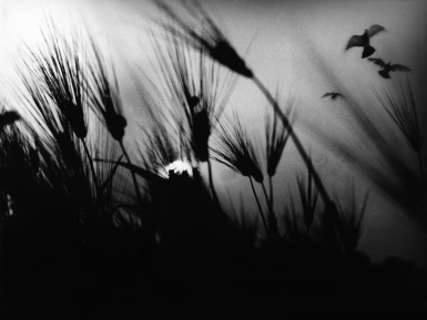 Mario Giacomelli, Spoon River, ​c. 1971–1973. Silhouettes of spiky plants growing upward. Three birds fly in the top right of the frame.