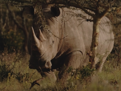 "Reflecting on the conservation of the earth's wildlife and wild places - White Rhino & ""Great White"""