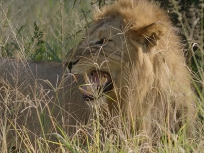 Wildscapes Foundation-Chem Chem Lion Project