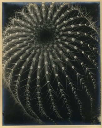 Brett Weston - Cactus, 1931  | Bruce Silverstein Gallery
