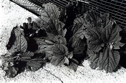 Daido Moriyama - Beefsteak Plant, Tokyo, 1990 Gelatin silver print, printed c. 1990. 8 x 10 inches ; Bruce Silverstein Gallery