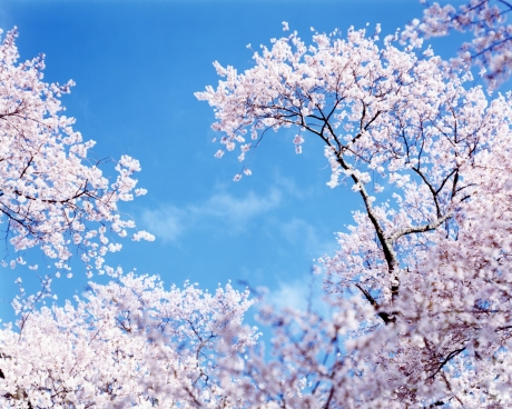 """Risaku Suzuki - """"Sakura"""""""