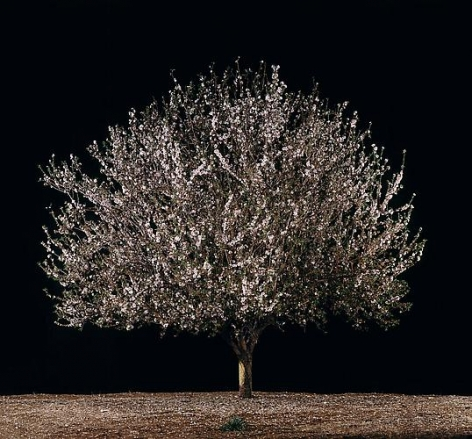 Tal Shochat, Shaked (Almond), 2011