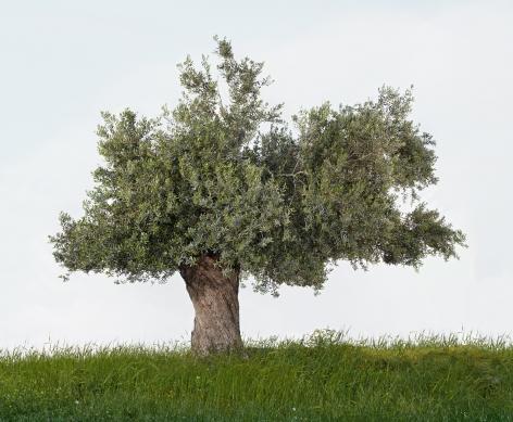 TAL SHOCHAT Olive, 2014