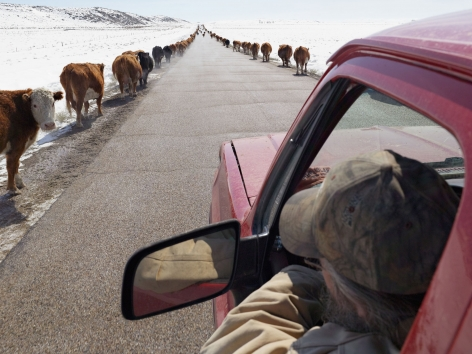 LUCAS FOGLIA, Moving Cattle to Spring Pasture, Boulder, Wyoming, 2011