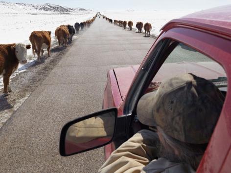 Lucas Foglia, Moving Cattle to Spring Pasture, Boulder, Wyoming, 2011