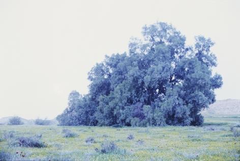 Felix taeda II, 2014, chromogenic, 180 x 270 cm, Ed. /5