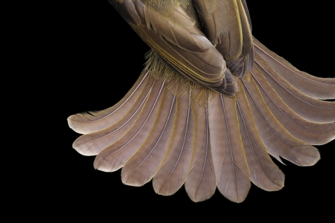 Joel Sartore- The Tail athers of a GFereenbul Bird