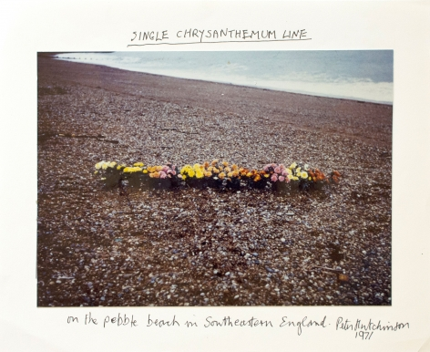 Hutchinson - Single Chrysanthemum Line