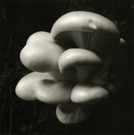 Mark Citret - Oyster Mushrooms, Yosemite, 1998  - Howard Greenberg Gallery