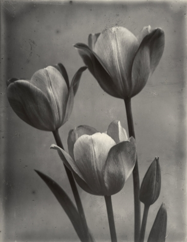 Charles Jones - May Flowering Tulips, c.1900 - Howard Greenberg Gallery