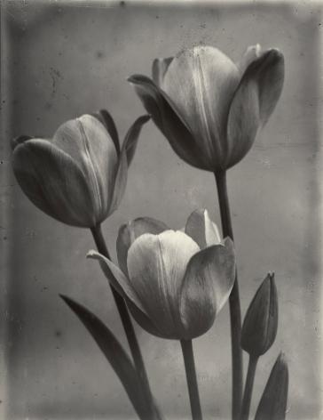 Charles Jones - May Flowering Tulips, c.1900 - Howard Greenberg Gallery