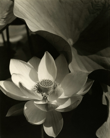 Edward Steichen - Lotus, Mt. Kisco, New York, 1915 - Howard Greenberg Gallery