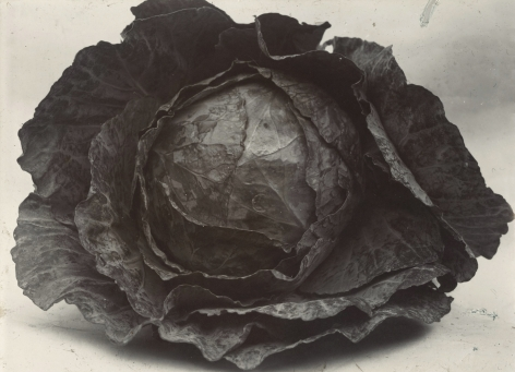Charles Jones - Cabbage Colewort Rosette, c.1900 - Howard Greenberg Gallery