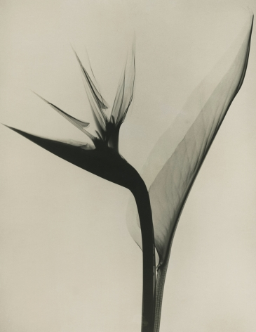 Dr. Dain L. Tasker - Bird of Paradise, 1930s - Howard Greenberg Gallery