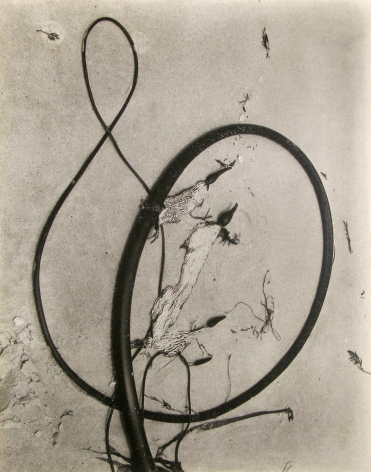 Edward Weston - Kelp, 1930 - Howard Greenberg Gallery