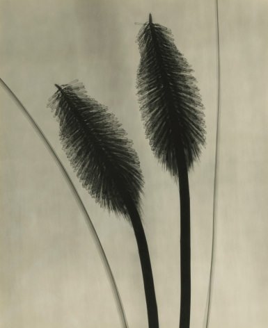 Dr. Dain L. Tasker - Red Hot Pokers, 1930 - Howard Greenberg Gallery