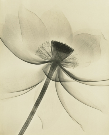 Dr. Dain L. Tasker - Lotus, Wide Open, 1935 - Howard Greenberg Gallery