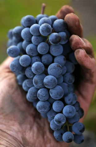 Fruit from the Bourne Vineyard