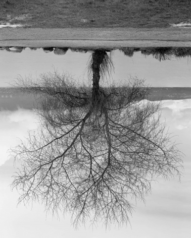 Rodney Graham, Black Cottonwood Tree, Spanish Banks Tree, 2012