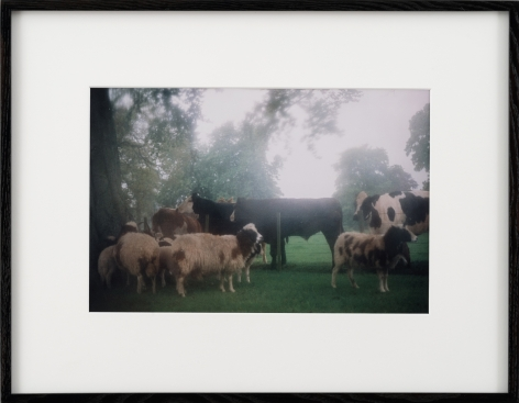 Karen Kilimnik, cows in the english mist