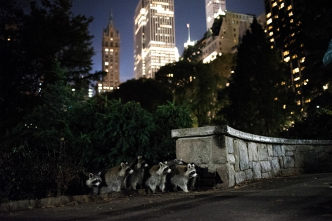 Hillary Swift Raccoons Central Park, 2016